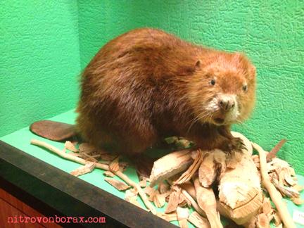 nat history beaver