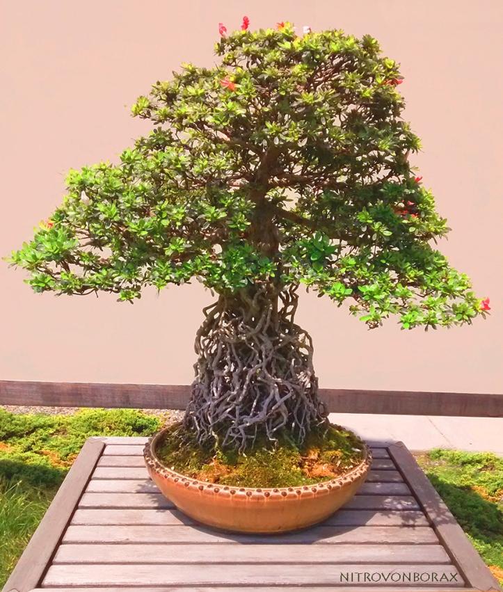 bonsa1
